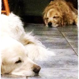 dog goldenretriever puppy cute dogs