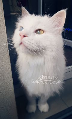 cat blueeye fluffy