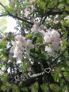 summer appletree flower