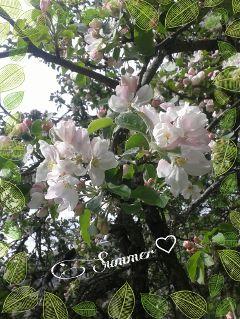 summer appletree flower