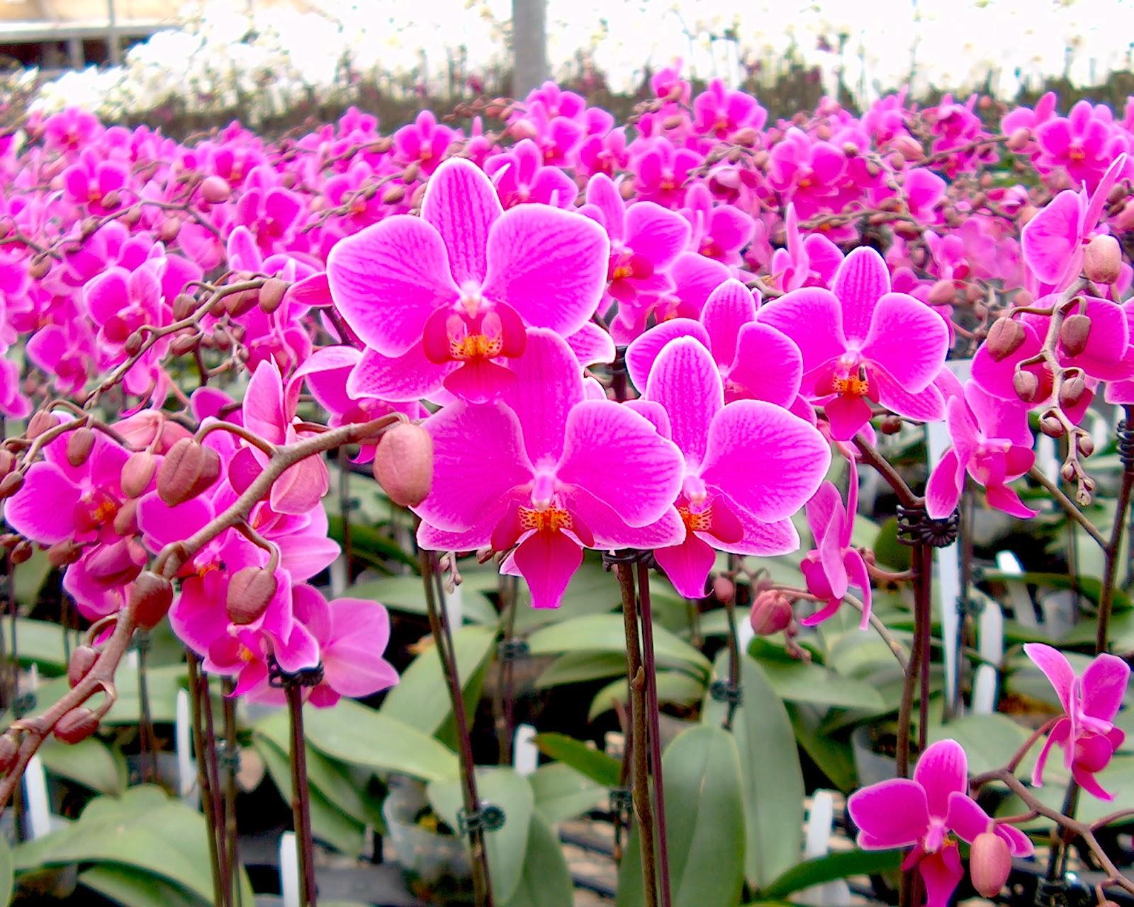 Самая большая орхидея в мире фото