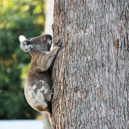koala marsupial nature photography australia