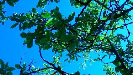plumtree blauerhimmel nature