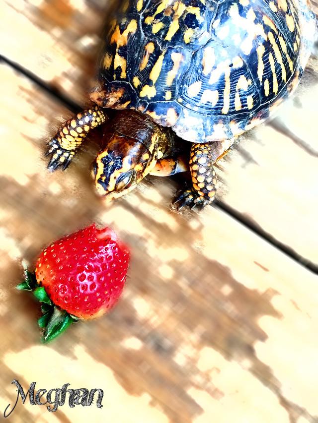 Turtles love strawberries