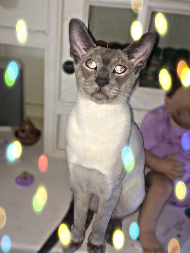#LIKEFORLIKES #REPOSTFORREPOST #Cat #siamese #beautiful #male #11months #fireryeyes #Purrrrfect