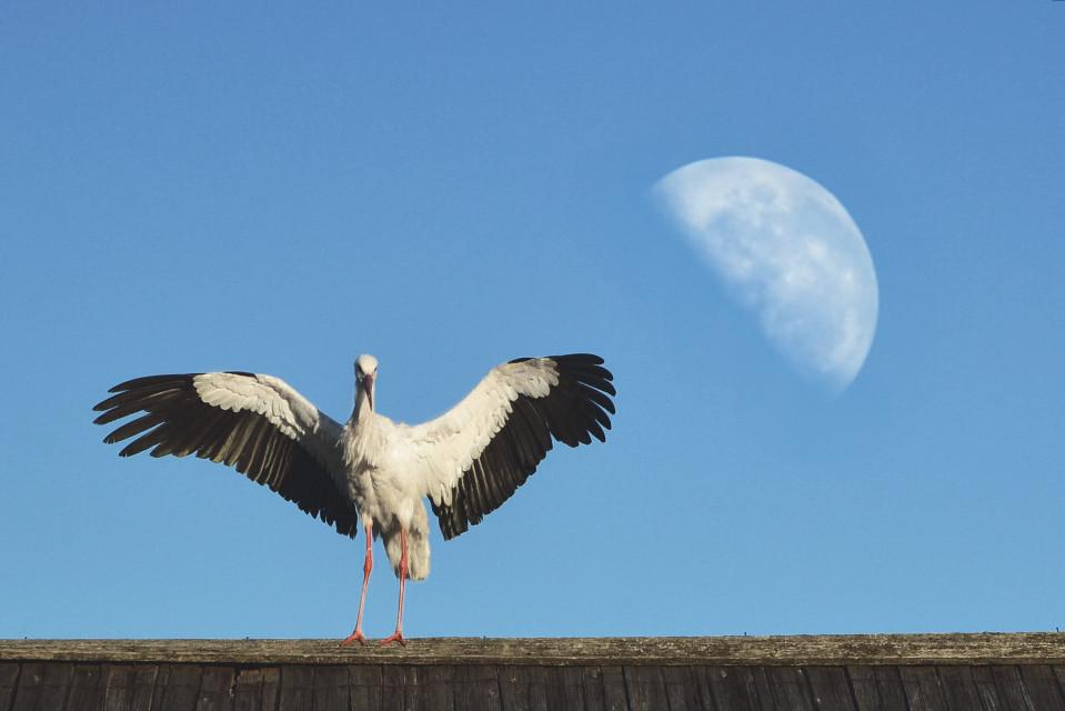 #bird  #moon  #stork #freetoedit