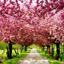 cheeryblossoms pinky nature