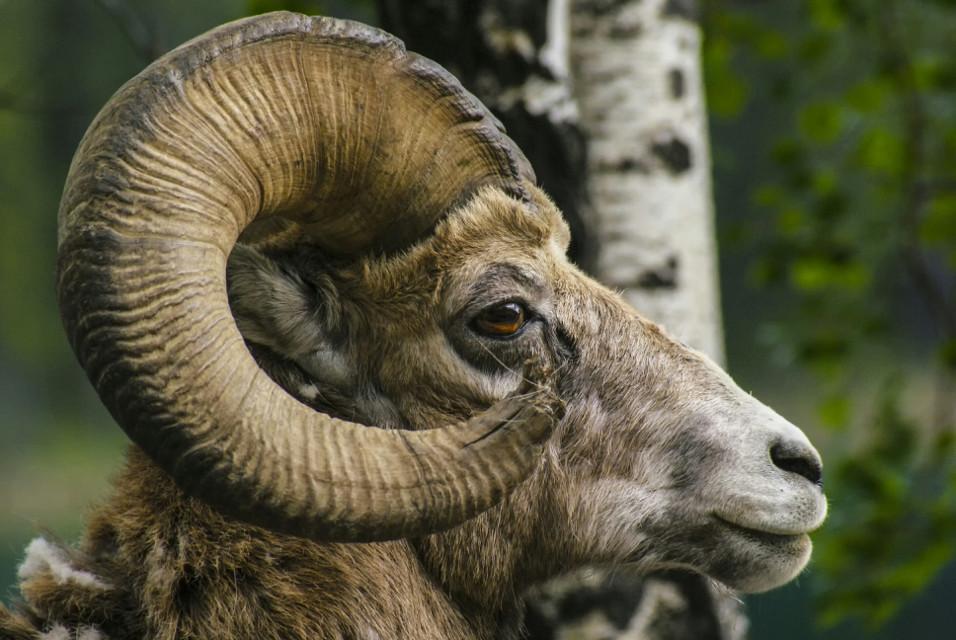 Mountain goat #mountain goat #goat #photography #wildlife