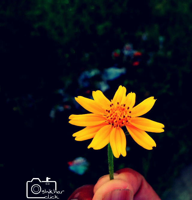 Sun flower yellow #flower #photography