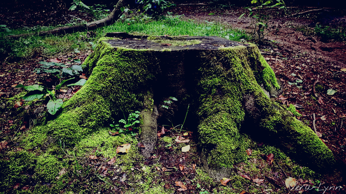 You might be gone from this world, you still live on in our hearts..  #tree #stump #green #moss #nature #outdoors #photography #color  #autumn