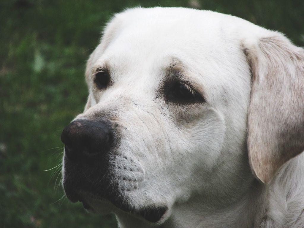 Pet Petsandanimals Dog Labrador Chien Photo Photograp