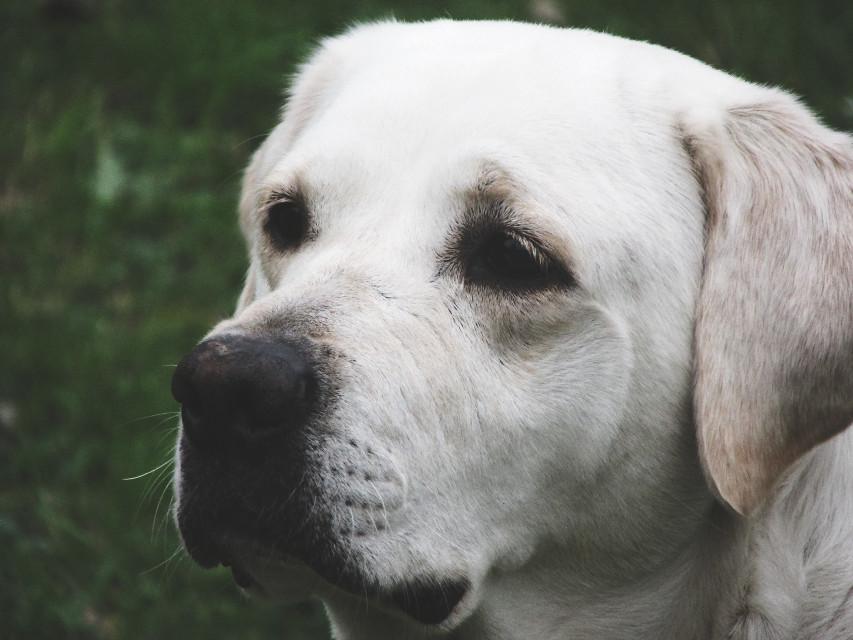 #pet  #petsandanimals #dog #labrador #chien #photo  #photography  #photographie #picture #canon #october #nature #