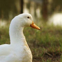 duck petsandanimals nature photography interesting