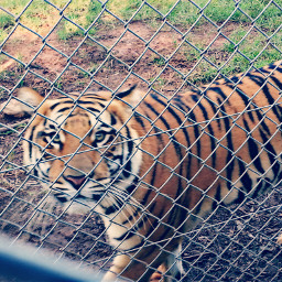 photography zoologico paraguay tiger animals